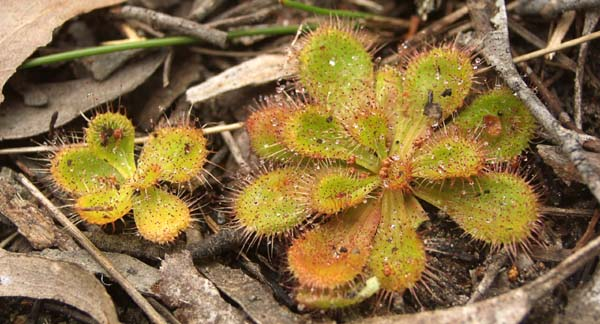 [Two sundews]