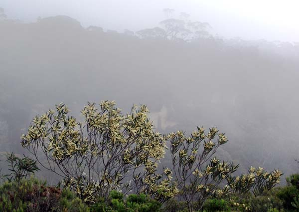 Wattle bush over Kanangra valley