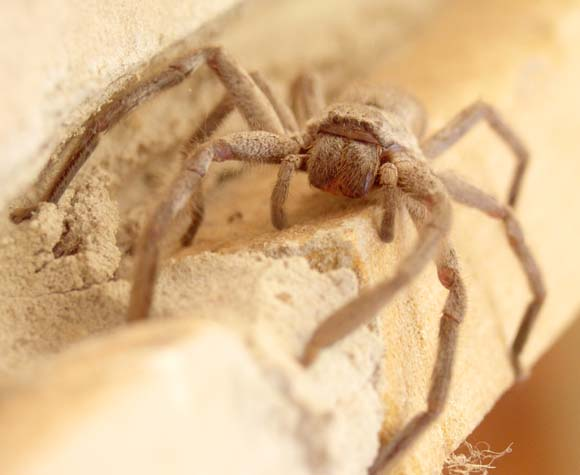 [Wolf Spider on window sill]